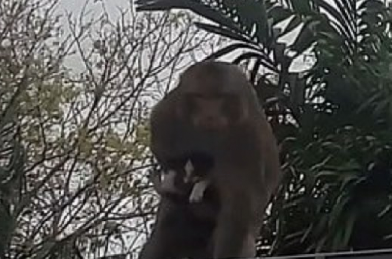 Monkey in Thailand kidnaps kitten and holds it hostage while