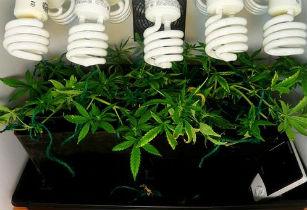 Как вырастить марихуану в домашних условиях в хорошем качестве фотоография