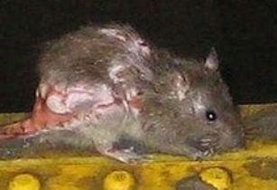 Самая страшная крыса в мире