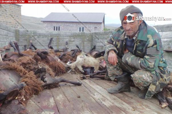 Կոտայքի մարզում գայլերի ոհմակը 105 ոչխար է հոշոտել