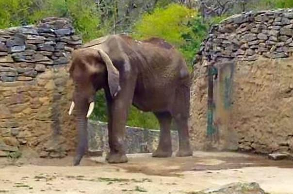 Elephant Starving In Venezuela Zoo Becomes Symbol Of Economic Crisis