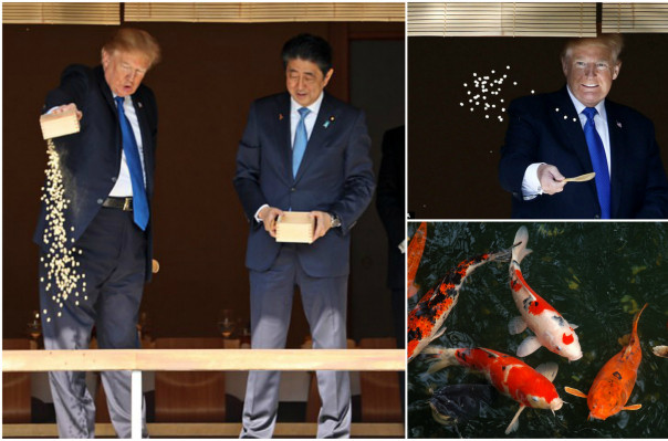 Koi stop that trump loses patience as he feeds the for Trump feeding fish